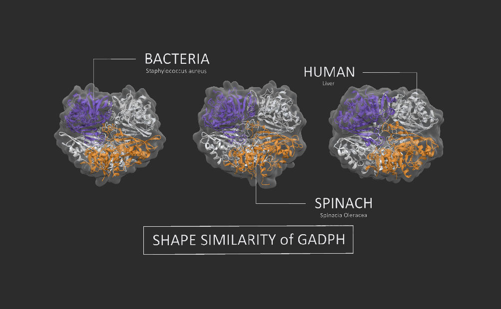 Shape similarity of GAPDH